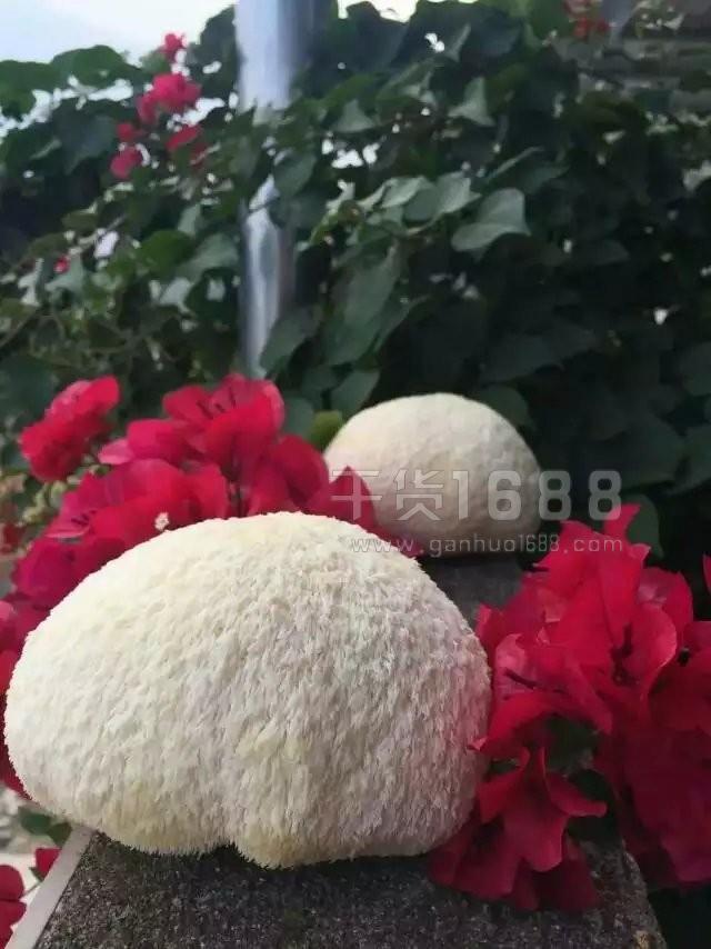 有机鲜活猴头菇