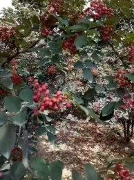 富平特产大红袍花椒